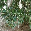 ViburnumRhytidophyllum2.jpg 1127 x 845 px 242.68 kB