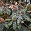 ViburnumRhytidophyllum3.jpg 600 x 902 px 379.55 kB