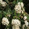 ViburnumRhytidophyllum4.jpg 1120 x 840 px 227.91 kB