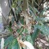 ViburnumRhytidophyllum6.jpg 1127 x 845 px 177.38 kB