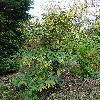 ViburnumRhytidophyllum8.jpg 720 x 960 px 545.15 kB