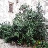 ViburnumRhytidophyllum.jpg 1024 x 768 px 270.46 kB