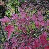 ViburnumSargentii2.jpg 1024 x 768 px 232.75 kB
