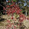 ViburnumSargentii3.jpg 1219 x 914 px 502.92 kB