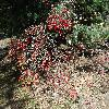 ViburnumSargentii4.jpg 1219 x 914 px 477.3 kB