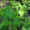 ViburnumSargentiiCalvescens3.jpg 1024 x 768 px 164.85 kB