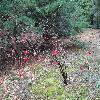 ViburnumSargentiiCalvescens5.jpg 1024 x 768 px 328.3 kB
