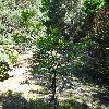 ViburnumSargentiiCalvescens.jpg 1024 x 768 px 328.29 kB