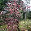 ViburnumSargentii.jpg 720 x 960 px 567.9 kB