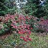 ViburnumSetigerum.jpg 720 x 960 px 537.65 kB