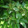 ViburnumSieboldii2.jpg 1024 x 768 px 204.34 kB