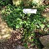 VincaMinorNemularifolia.jpg 576 x 768 px 171.94 kB