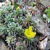 VitalianaPrimuliflora2.jpg 1095 x 821 px 196.36 kB