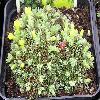 VitalianaPrimulifloraPraetutiana.jpg 978 x 730 px 160.34 kB