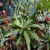 VrieseaGladioliflora.jpg 1200 x 900 px 245.08 kB