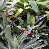 VrieseaGlutinosa2.jpg 720 x 960 px 340.41 kB