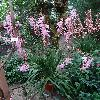 WatsoniaBorbonica.jpg 720 x 960 px 495.54 kB