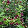 WeigelaFlorida2.jpg 720 x 960 px 379.86 kB