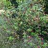 WeigelaFlorida.jpg 720 x 960 px 576.4 kB