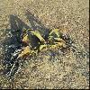 WelwitschiaMirabilis3.jpg 1024 x 631 px 248.03 kB