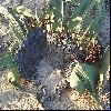 WelwitschiaMirabilis4.jpg 1024 x 740 px 273.58 kB