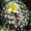 WigginsiaErinacea2.jpg 961 x 871 px 432.92 kB