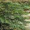 WollemiaNobilis5.jpg 600 x 903 px 407.7 kB