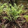 WoodwardiaFimbriata2.jpg 1200 x 797 px 558.36 kB