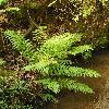 WoodwardiaFimbriata.jpg 900 x 1200 px 574.56 kB