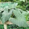 XanthosomaViolaceum.jpg 1024 x 768 px 205.61 kB