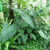 Xanthosoma.jpg 1127 x 845 px 228.35 kB