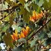 xChiranthomontodendronLenzii.jpg 900 x 600 px 385.38 kB