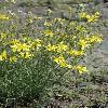 YoungiaTenuifolia2.jpg 600 x 900 px 354.17 kB