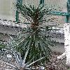YuccaAloifolia2.jpg 720 x 960 px 424.06 kB