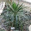 YuccaAloifolia.jpg 720 x 960 px 432.06 kB