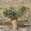 YuccaBrevifolia2.jpg 600 x 903 px 434.77 kB