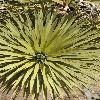 YuccaBrevifolia3.jpg 600 x 903 px 440.18 kB