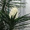 YuccaElephantipes.jpg 681 x 908 px 327.35 kB