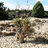 YuccaThompsoniana5.jpg 638 x 850 px 195.54 kB