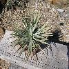 YuccaWhippleiWhipplei.jpg 1127 x 845 px 270.07 kB