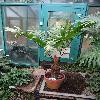 ZamiaNeurophyllidia.jpg 720 x 960 px 358.74 kB