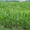 ZeaMays.jpg 1127 x 845 px 294.92 kB