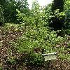 ZelkovaCarpinifolia4.jpg 630 x 840 px 200.31 kB