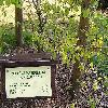 ZelkovaCarpinifolia.jpg 1024 x 768 px 258.4 kB