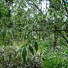 ZelkovaSerrataVariegata2.jpg 1204 x 903 px 386.23 kB