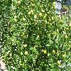 Ziziphus2.jpg 1110 x 833 px 313.44 kB