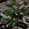 ZygophyllumIliense.jpg 450 x 748 px 193.88 kB