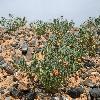 ZygophyllumKaratavicum.jpg 1204 x 800 px 577.55 kB
